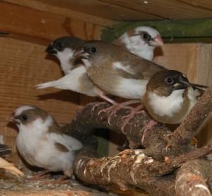 Podloty po opuszczeniu gniazda (22 dzień życia)