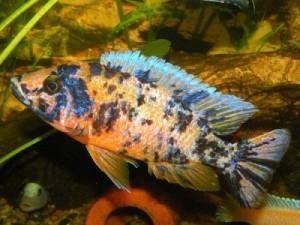 Ryc. 233. Aulonocara sp. Calico, zwana również A. sp. OB, to sztucznie uzyskana odmiana, której potomstwo pod względem fenotypowym jest bardzo różnorodne i często w dużym odsetku zupełnie nie przyp